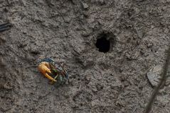 Crabes Photos stock