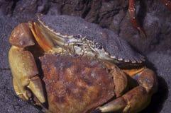 crabes accouplant la roche rouge Photographie stock