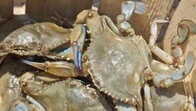 Crabes bleus Frais-Attrapés du Maryland Image stock