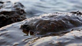 Crabes de bébé attendant sur la roche clips vidéos
