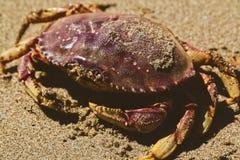 Crabes de Dungeness images libres de droits