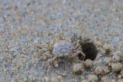 Crabes de Ghost photos stock