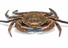 Crabes de natation Images libres de droits