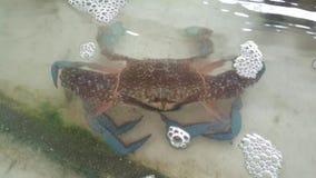 Crabes de natation bleus frais clips vidéos
