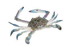 Crabes de natation bleus, isolat sur le fond blanc Photos libres de droits