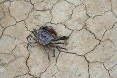 Crabes de rizière marchant au sol photos stock