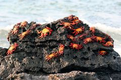 Crabes de Sally Lightfoot, Galapagos Image stock