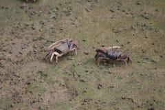 Crabes de violoneur photo libre de droits