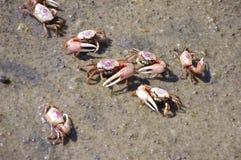 Crabes de violoneur fâchés Photographie stock