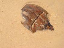Crabes en fer à cheval Photographie stock libre de droits