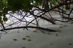 Crabes enragés Photos libres de droits