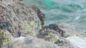 Crabes et rockskippers sur la roche à la plage banque de vidéos
