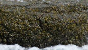 Crabes et rockskippers sur la roche ? la plage banque de vidéos
