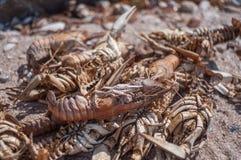 Crabes morts sur la plage Images libres de droits