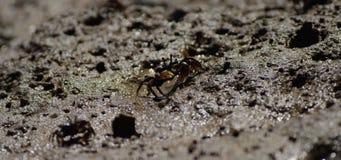 Crabes sur des appartements de boue banque de vidéos