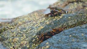 Crabes sur la roche à la plage banque de vidéos