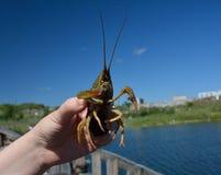 A crabfish in hands Stock Photos