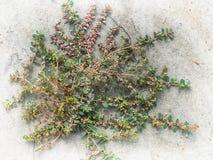 crabgrass Royaltyfria Bilder
