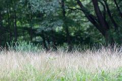 Crabgrass del sud anche conosciuto come il digitaria ciliaris Fotografia Stock Libera da Diritti