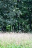 Crabgrass du sud également connu sous le nom de ciliaris de Digitaria Image libre de droits