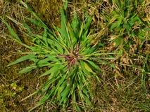 Crabgrass onkruid stock afbeeldingen