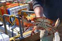 Crabman holding CA Rock Crab Royalty Free Stock Image
