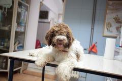 Crabot à la clinique de vétérinaire image libre de droits