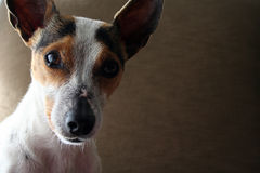 Crabot 3 de chien terrier Photos stock
