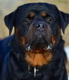 Crabot adulte fidèle de rottweiler Photo stock