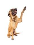 Crabot anglais hauts cinq de Mastiff photo libre de droits