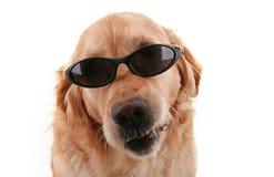 Crabot avec des lunettes de soleil Images stock