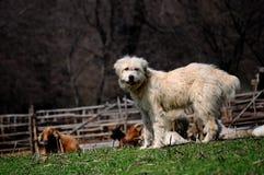 Crabot blanc gardant des moutons Photos stock