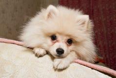 Crabot blanc sur un sofa Images stock