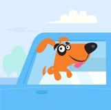 Crabot brun et noir heureux se déplaçant dans le véhicule bleu Photographie stock libre de droits