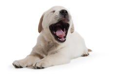 Crabot - chiot de chien d'arrêt d'or Photos stock