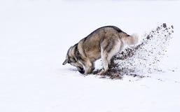 Crabot creusant dans la neige image stock