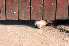 Crabot curieux photo libre de droits