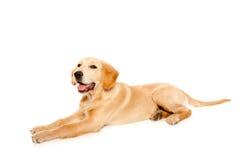 Crabot d'animal de race de chiot de chien d'arrêt d'or Image libre de droits