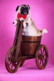 Crabot d'animal familier drôle images libres de droits