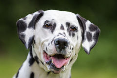 Crabot dalmatien Photo stock