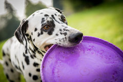 Crabot dalmatien photos stock