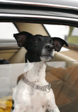 Crabot dans l'hublot de véhicule Photos libres de droits