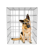 Crabot dans la cage Photo stock