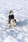 Crabot dans la neige Images libres de droits