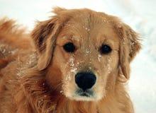 Crabot dans la neige Photo libre de droits