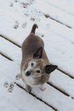 Crabot dans la neige Photos libres de droits