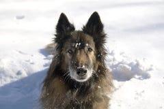 Crabot dans la neige photographie stock libre de droits