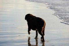 Crabot dans la vague déferlante Photographie stock