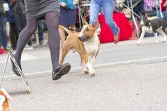 Crabot de bull-terrier Images stock