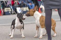 Crabot de bull-terrier Photos stock